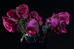 Dying roses Royalty Free Stock Photos