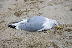 Dying seagull. Lying on sand Stock Images