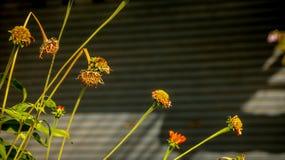 Dying/Suche Pomarańczowe stokrotki na Panwiowym Background/rolowniku Shutt fotografia stock