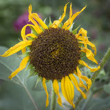 Dying Sunflower Stock Image