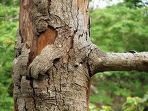 Dying Tree Stock Image