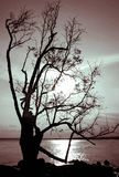 Dying Tree Silhouette Stock Images