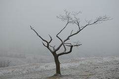 Dying Tree. On St Catherine's hill covered with hoar frost in the still, silent air Stock Image