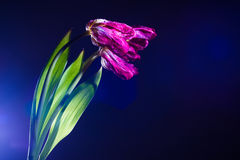 Dying tulips Royalty Free Stock Image