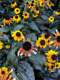 Dying yellow coneflowers cling to life Royalty Free Stock Images