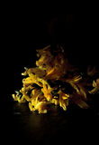 Dying Yellow Fuschia Stock Photos
