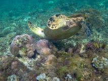Dyk för havssköldpadda till koraller Exotiskt undervattens- foto för marin- sköldpadda Oceaniskt djur i lös natur för sommarterri arkivbild