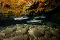 Dyka för hajrev som och för korallrev är undervattens- Royaltyfria Bilder