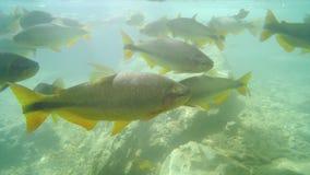 Dyka och undervattens- sikt av Piraputanga fiskar arkivfilmer