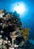 Dykapparatdykning, lejonfisk, korallrev, fisk, marin- liv Arkivfoton