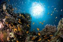 Dykapparatdykning, lejonfisk, korallrev, fisk, marin- liv Royaltyfri Foto