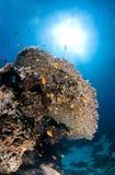 Dykapparatdykning, lejonfisk, korallrev, fisk, marin- liv Royaltyfria Bilder