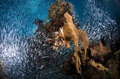 Dykapparatdykning, lejonfisk, korallrev, fisk, marin- liv Arkivfoto