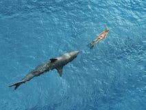 dykare förföljer hajen arkivbilder