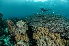 Dykare korallrev, anemon i Ambon, Maluku, Indonesien undervattens- foto Arkivfoton