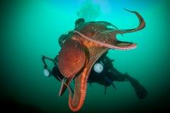 Dykare med den jätte- bläckfisken Arkivfoto