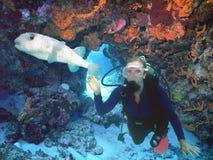 Dykare med Porcupinefish på den färgrika reven royaltyfria bilder