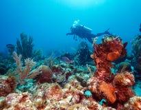 Dykare nära koraller, Kuba Arkivbild