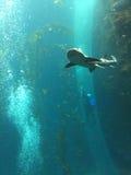 Dykare och haj på det nationella museet av Marine Biology och akvariet i Taiwan Fotografering för Bildbyråer