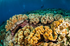 Dykare och olik mjuk korall, champinjonläderkorall i Banda, Indonesien undervattens- foto Fotografering för Bildbyråer