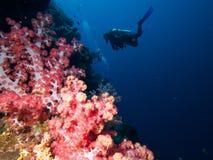 Dykare på väggen av mjuk-korall arkivbild