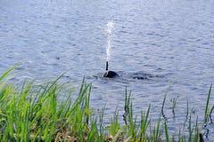 Dykare Releasing Fountain av vatten Royaltyfri Bild