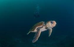 Dykare som fotograferar den undervattens- Hawksbill sköldpaddan Royaltyfria Foton
