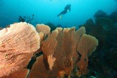 Dykare som simmar över det stora gorgonian Batee Tokong Pul Royaltyfri Foto
