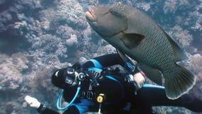 Dykare som spelar med Napoleon Fish på Coral Reef lager videofilmer