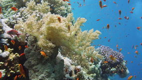Dykare, tropisk fisk och Coral Reef stock video