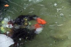Dykare under 20 cm-lager av sjöis i vinter Royaltyfri Foto