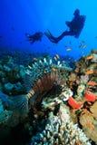 dykarelionfishscuba Arkivfoto