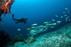 Dykaren och mer fuslier skolgångnarrowstripe simmar i Gili, Lombok, Nusa Tenggara Barat, Indonesien det undervattens- fotoet Arkivfoto