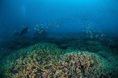 Dykaren och skolgång fiskar ovanför korallreverna i Gili, Lombok, Nusa Tenggara Barat, Indonesien det undervattens- fotoet Arkivfoto
