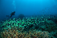 Dykaren och skolgång fiskar ovanför korallreverna i Gili, Lombok, Nusa Tenggara Barat, Indonesien det undervattens- fotoet arkivbild