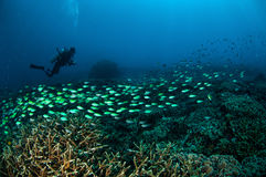 Dykaren och skolgång fiskar ovanför korallreverna i Gili, Lombok, Nusa Tenggara Barat, Indonesien det undervattens- fotoet arkivbilder