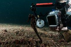 Dykaren tar fotoet video dykning för den seahorselembehindonesia dykapparaten Royaltyfri Fotografi