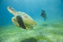 dykarescubasköldpadda Arkivbilder