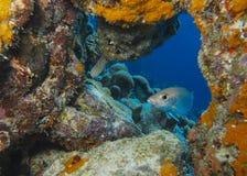 Dykning Bonaire Arkivfoton