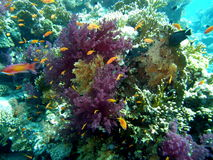 Dykning för rött hav för korallrev Arkivfoton