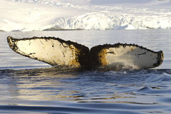 Dykning för svans för puckelryggval i Antarktisvatten mot backden Royaltyfri Bild