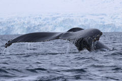Dykning för puckelryggval i vattnet av den antarktiska halvön Arkivfoton