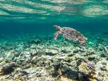 dykning maldives Arkivfoton