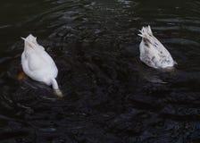 Dykninggäss Royaltyfri Bild