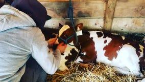Dylan & een koe stock foto's