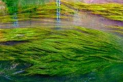 Водоросли в реке Dyle в лёвене, Бельгии стоковые фотографии rf