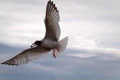 Dymówka ogoniasty frajer w Galpagos wyspach Zdjęcia Royalty Free