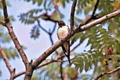 Dymówka ptak na drzewie obraz royalty free
