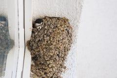 Dymówki dopatrywanie od gniazdeczka Zdjęcie Royalty Free