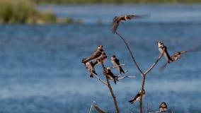 Dymówki, Hirundinidae, lata na gałąź obok rzecznego spey, Scotland zdjęcie wideo